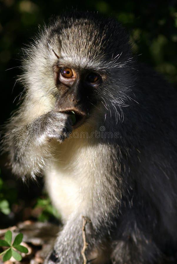 Download Mono de Vervet imagen de archivo. Imagen de salvaje, safari - 1280907