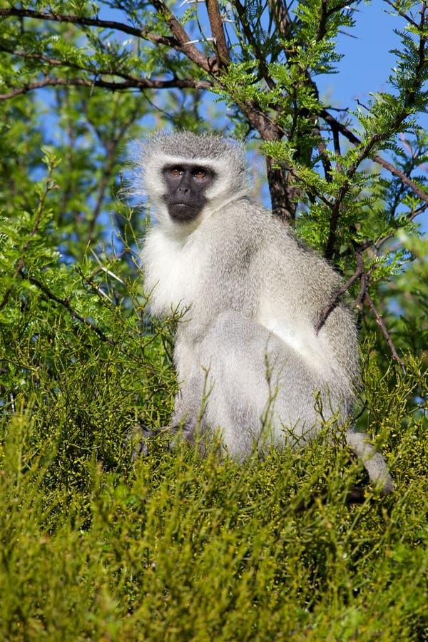 Mono de Vervet foto de archivo