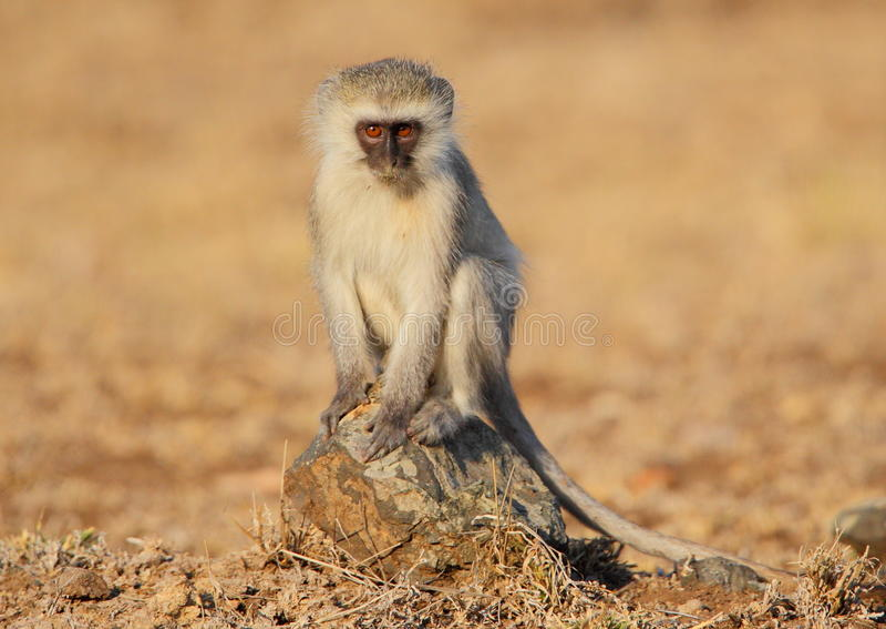 Mono de Vervet imagen de archivo