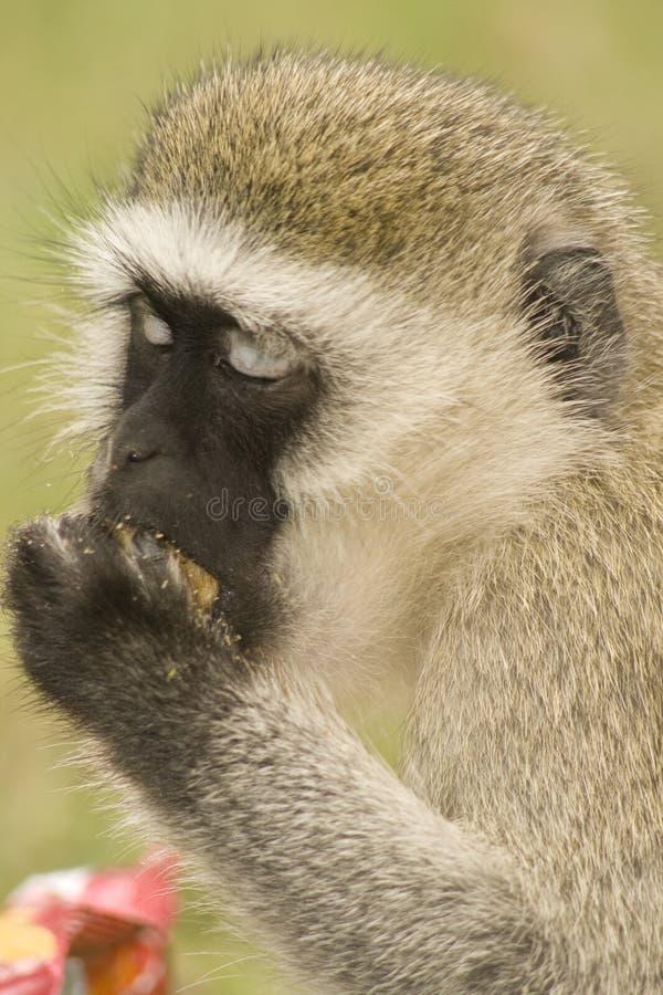 Download Mono de Vervet foto de archivo. Imagen de mono, ojos, primate - 7287732