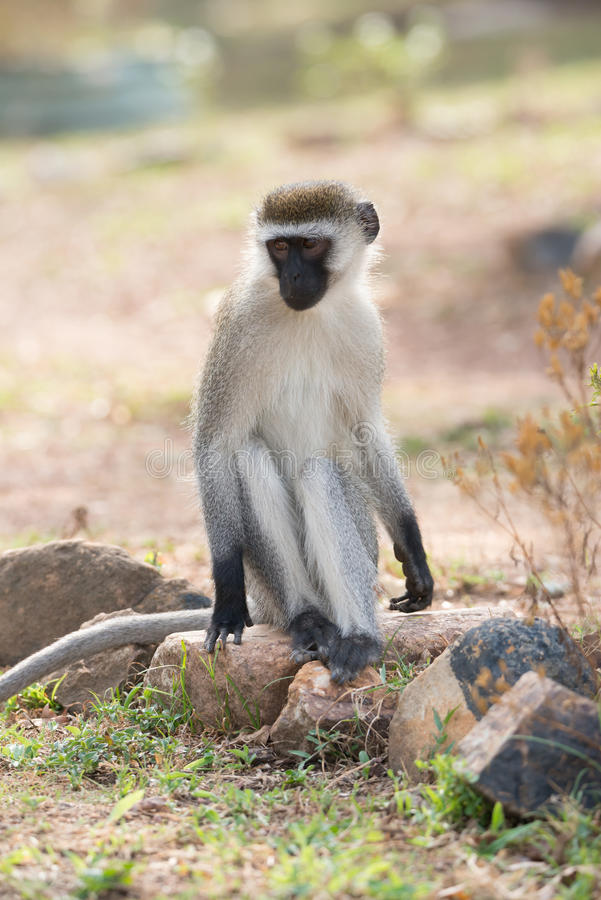 Mono de vervet masculino en roca en sol fotos de archivo