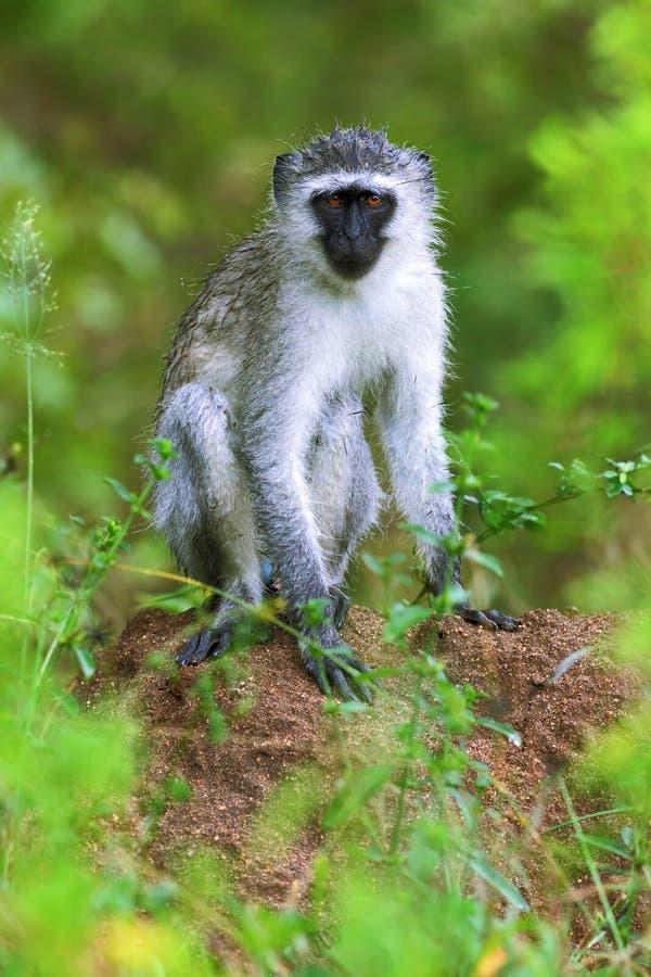 Mono de vervet masculino que se sienta y que mira en la cámara foto de archivo libre de regalías