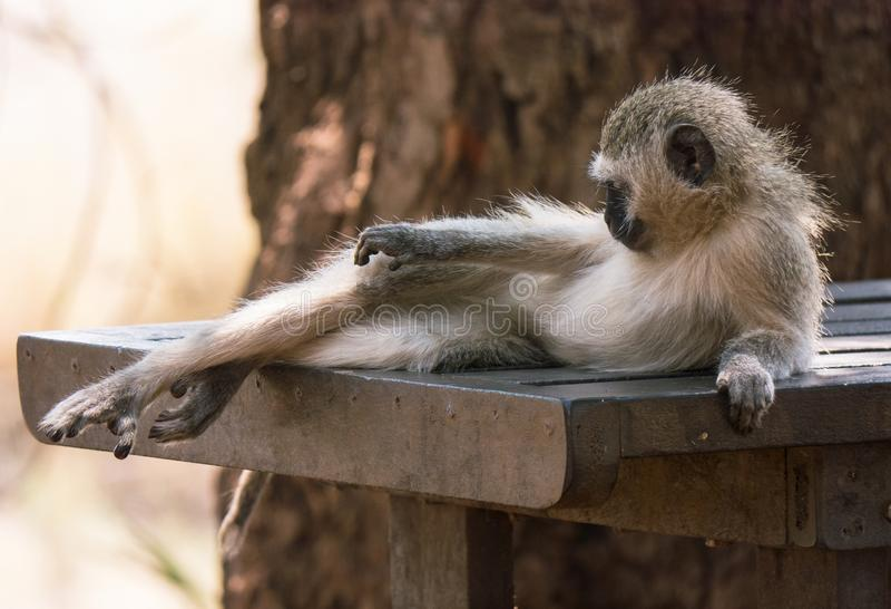 Mono de Vervet que miente en una tabla foto de archivo