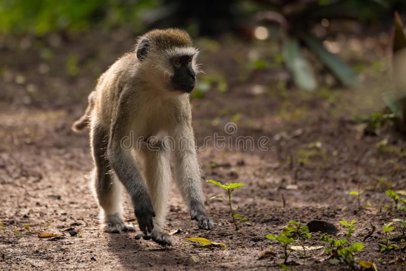 Mono de Vervet que se agacha en la tierra que parece correcta imagen de archivo libre de regalías