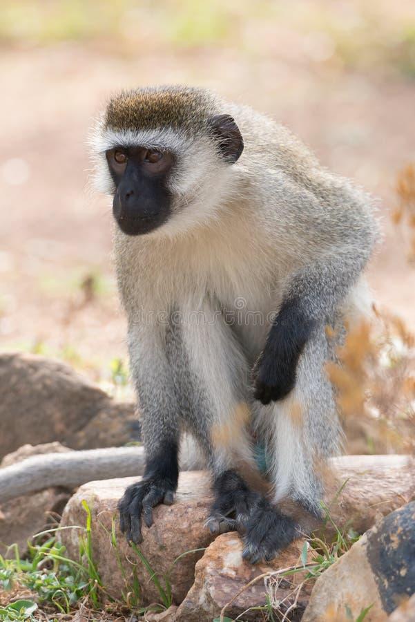 Mono de Vervet que se sienta en roca en sol imagenes de archivo