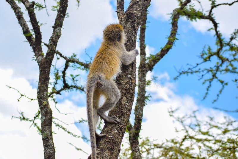 Mono de Vervet que sube un árbol foto de archivo libre de regalías
