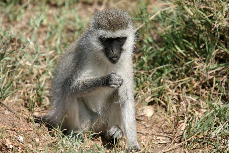 Mono de Vervet - safari de Serengeti, África fotos de archivo libres de regalías