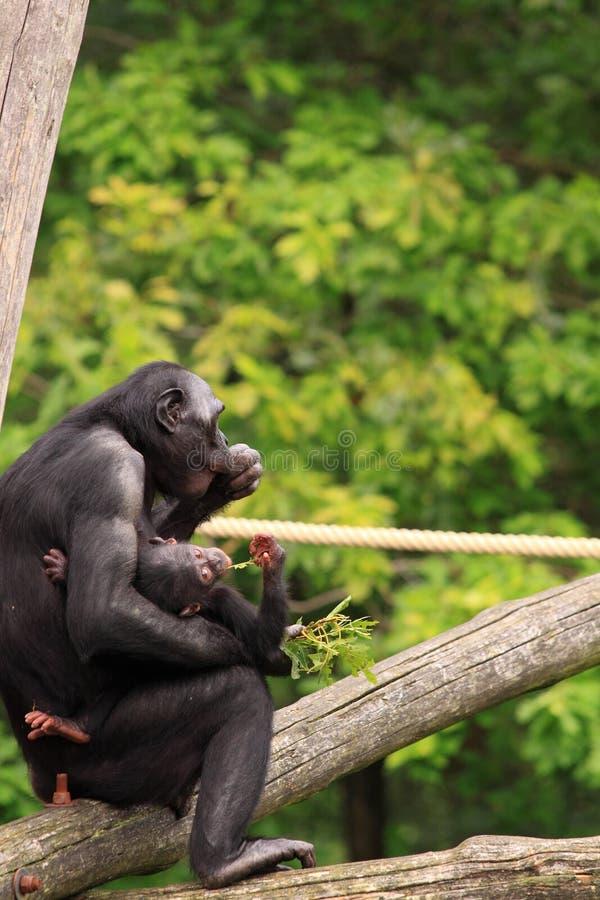 Mono del bebé del Bonobo con la madre fotografía de archivo