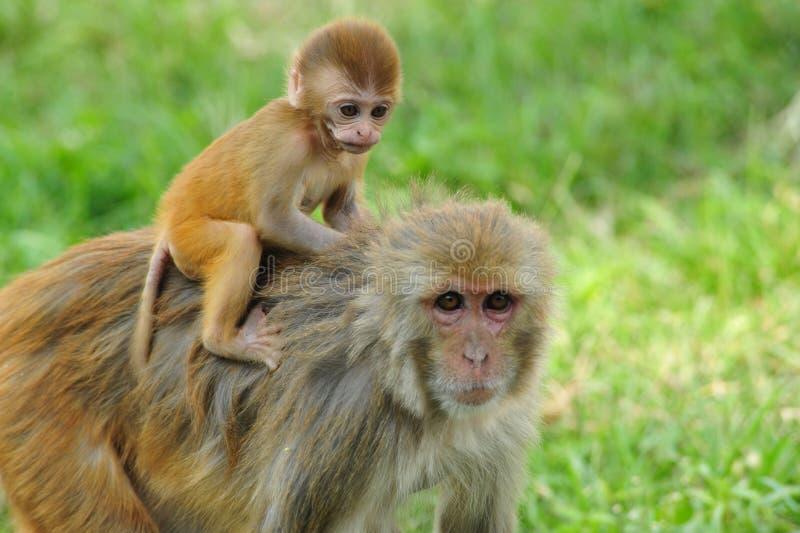 Mono del bebé en Katmandu imágenes de archivo libres de regalías