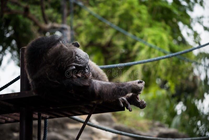 mono del chimpancé que miente y que duerme foto de archivo