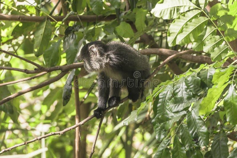 Mono del ` de Sykes en Tanzania imagenes de archivo
