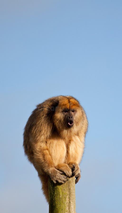 Mono del grito fotografía de archivo libre de regalías