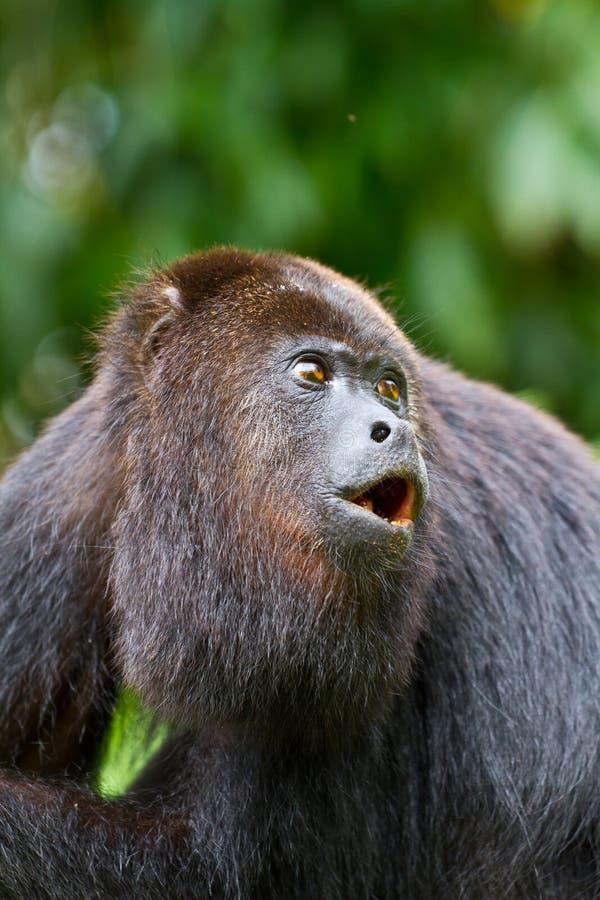 Mono del grito en Belice fotos de archivo