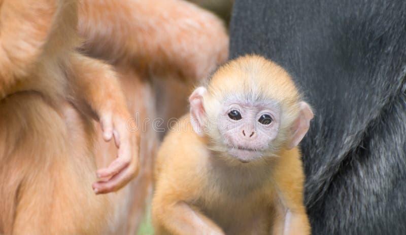 Mono del Langur de Javan del bebé foto de archivo libre de regalías