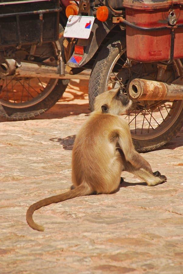 Mono del Langur que huele en el tubo de escape del motor imagen de archivo libre de regalías