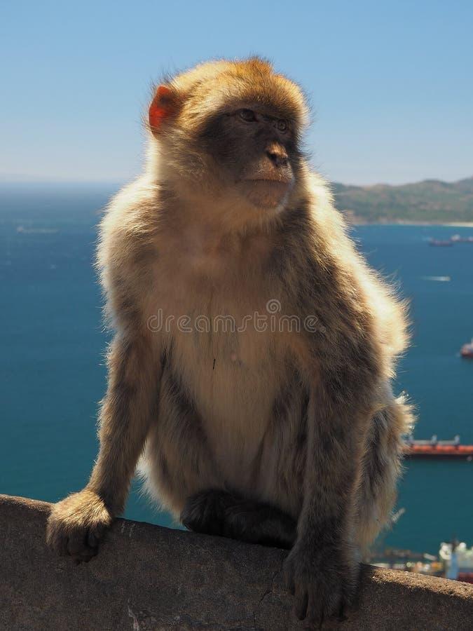 Mono del Macaque de Barbary foto de archivo libre de regalías