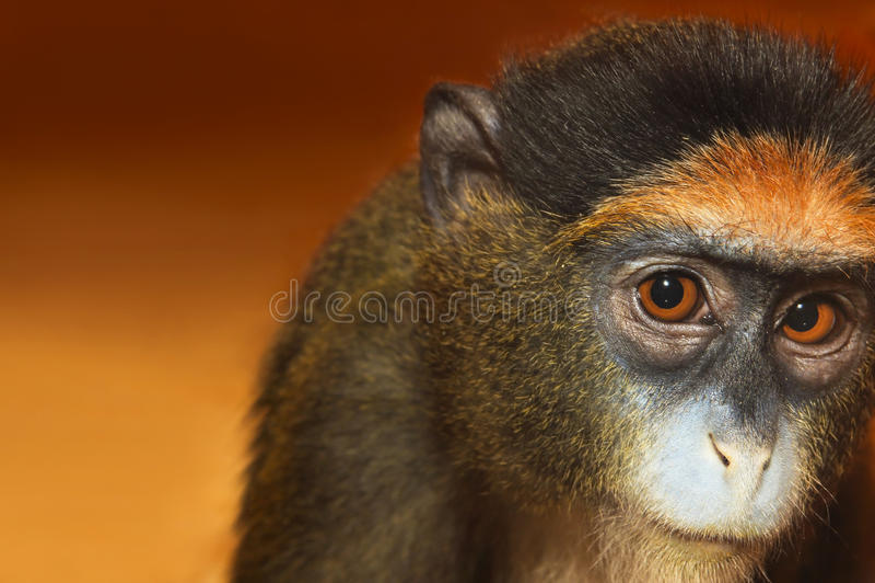 Mono del retrato imagen de archivo