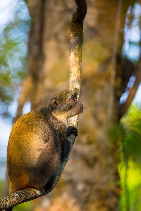 Mono del ` s de Syke en una rama fotografía de archivo