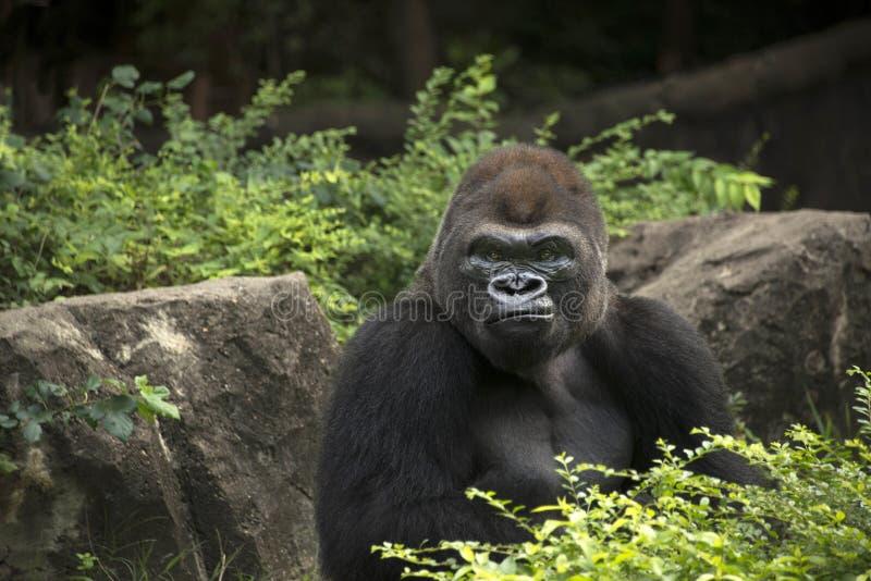 Mono del silverback masculino del gorila gran de África que se sienta en selva verde imagen de archivo libre de regalías