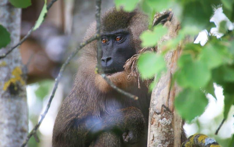Mono del taladro en un árbol fotografía de archivo libre de regalías