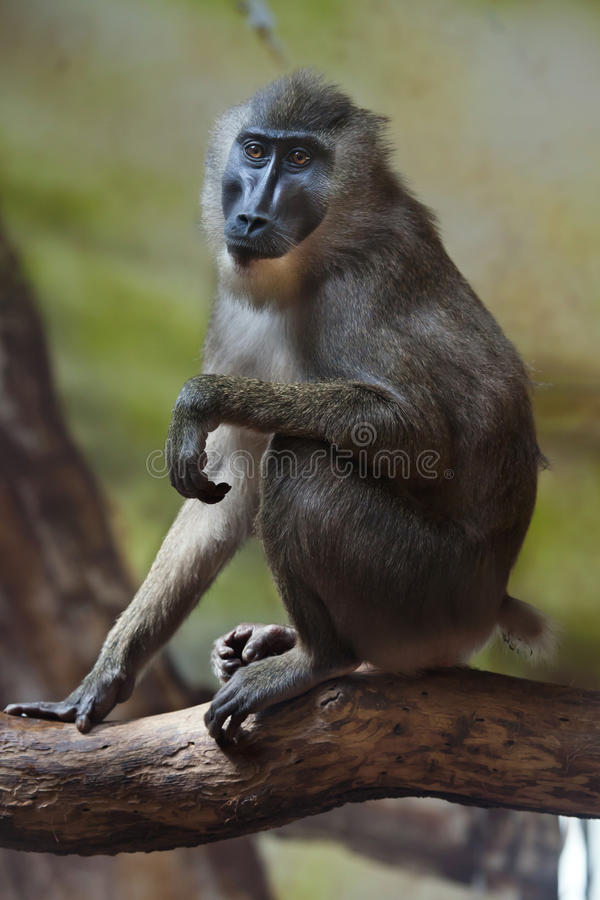 Mono del taladro (leucophaeus del Mandrillus) fotografía de archivo