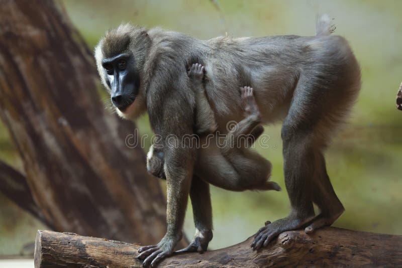 Mono del taladro (leucophaeus del Mandrillus) imagen de archivo libre de regalías