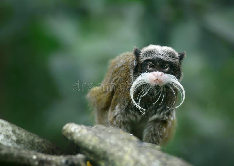 Mono del tamarin del emperador fotos de archivo libres de regalías