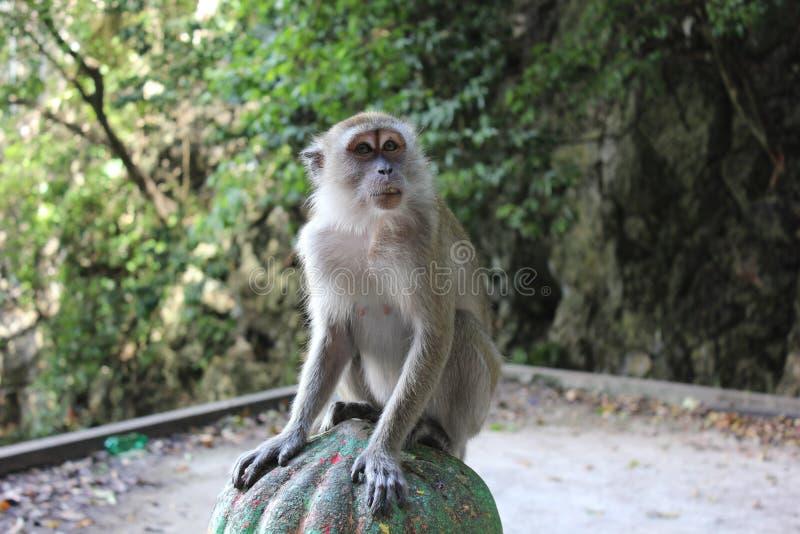 Mono dentro de la cueva de Batu imagen de archivo libre de regalías