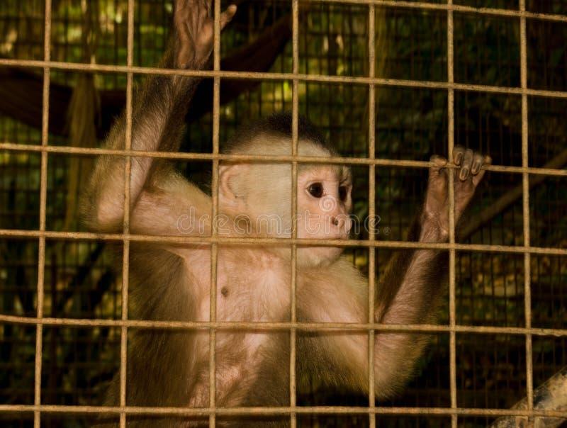Mono detrás de las barras fotos de archivo libres de regalías