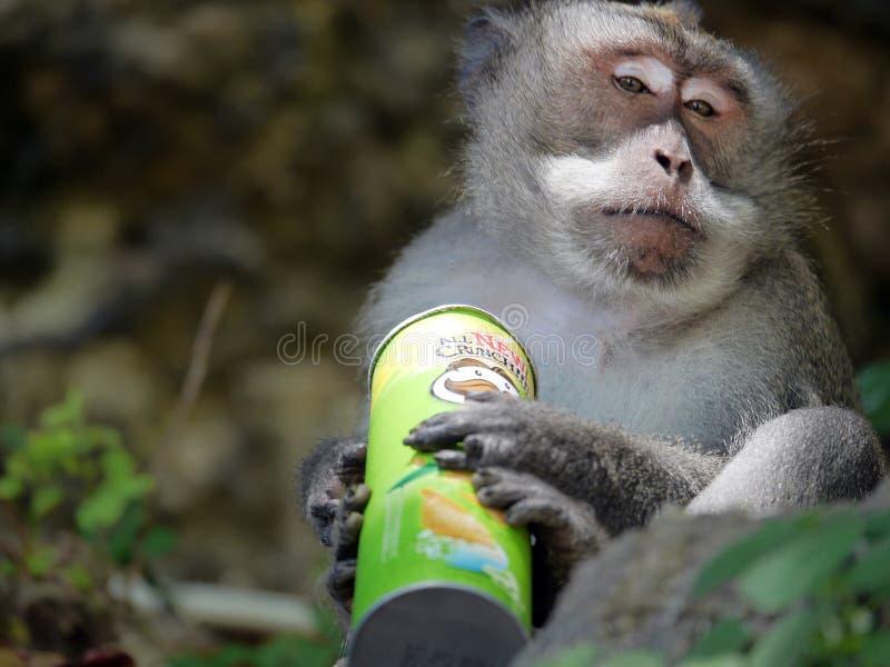 Mono disfrutando patatas fritas robadas imágenes de archivo libres de regalías