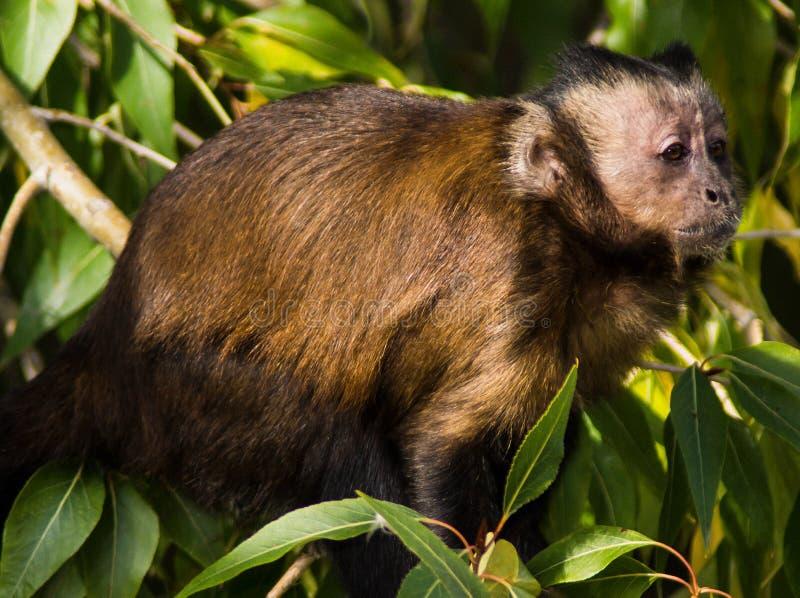 Mono en arbusto fotografía de archivo