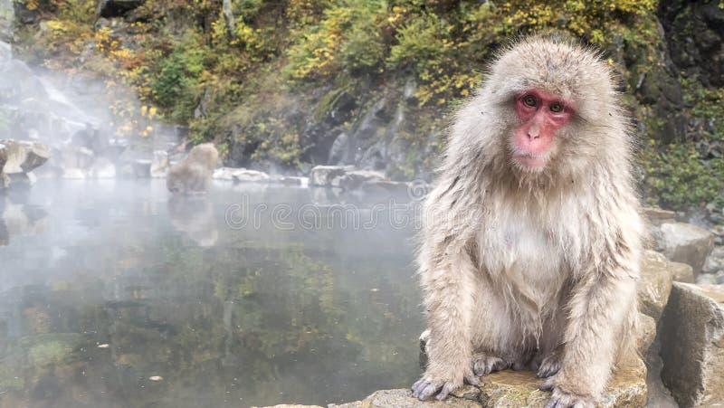 Mono en el borde de la piscina de las aguas termales, Japón de la nieve imágenes de archivo libres de regalías