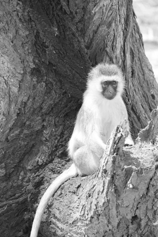 Mono en el tiempo del día del parque nacional del ruaha foto de archivo