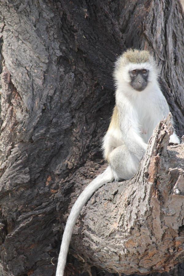 Mono en el tiempo del d?a del parque nacional del ruaha fotografía de archivo