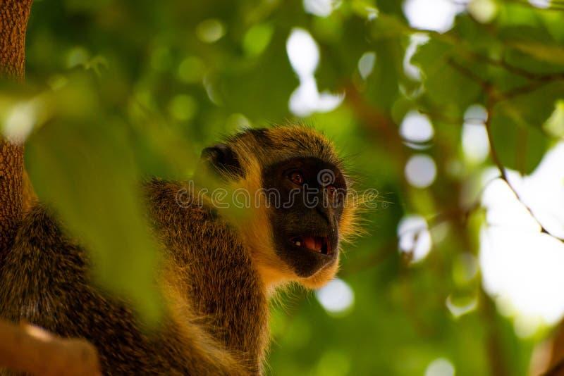 Mono en ?frica imagen de archivo