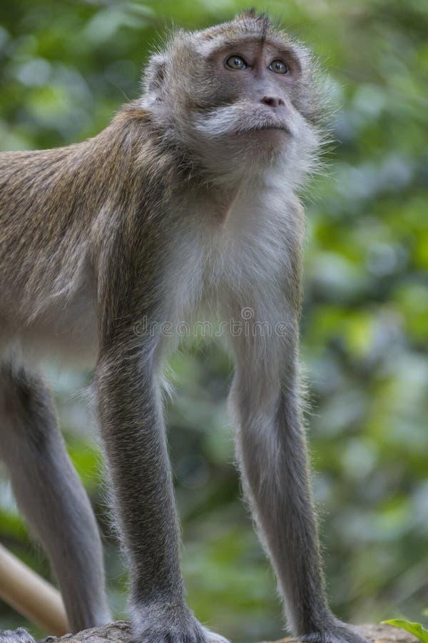 Mono en Tiger Cave Temple, Tailandia foto de archivo libre de regalías