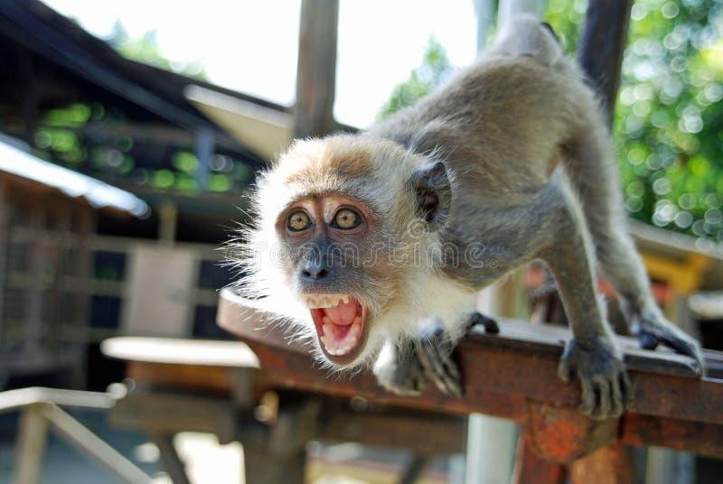 Mono feroz fotografía de archivo libre de regalías