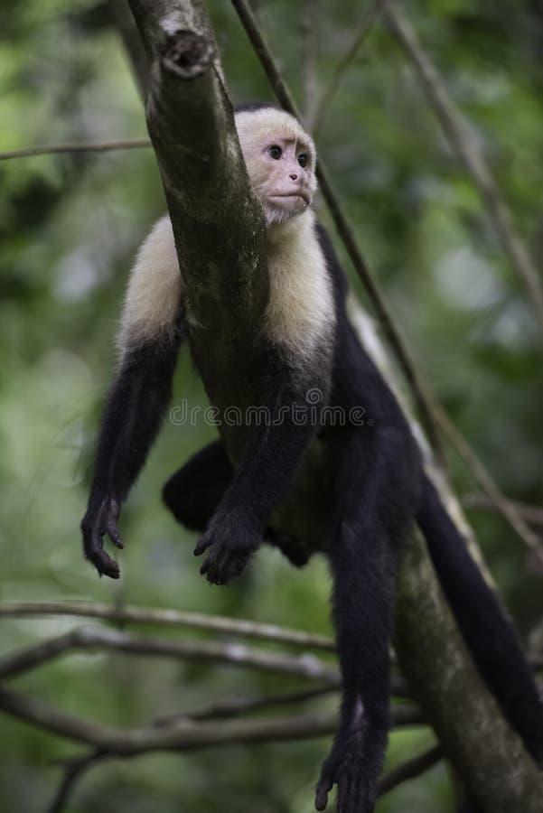 Mono grácil del capuchón imagen de archivo libre de regalías