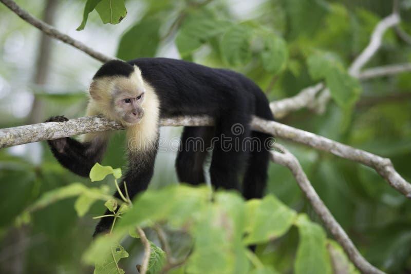 Mono grácil del capuchón foto de archivo