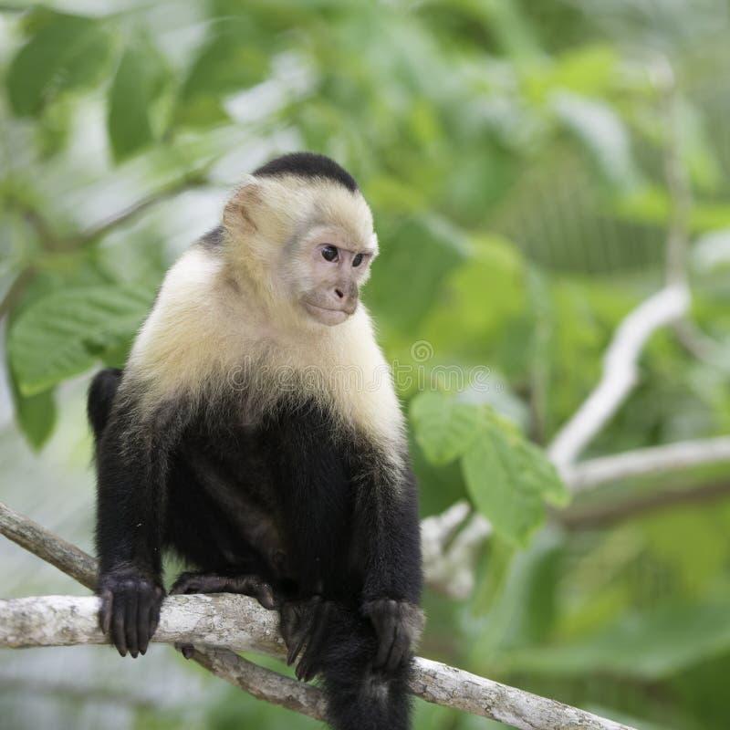 Mono grácil del capuchón, fauna en America Central foto de archivo libre de regalías