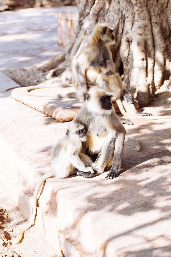 Download Mono Gris De Los Langurs La India Imagen de archivo - Imagen de animal, hindú: 100531081