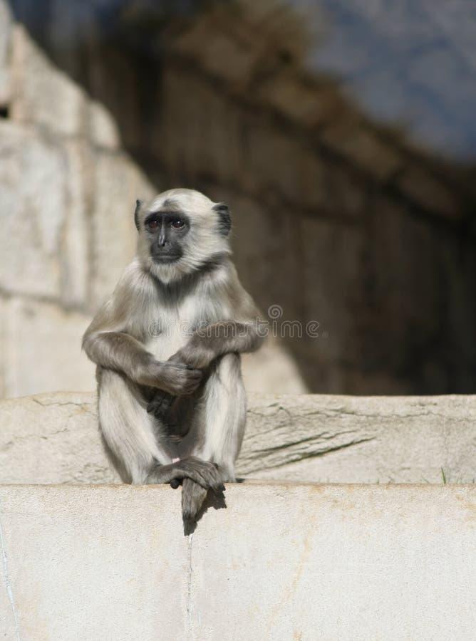 Mono gris del Langur imágenes de archivo libres de regalías