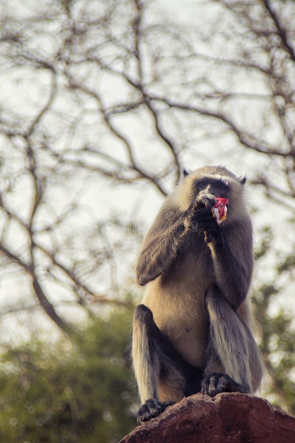 Mono gris del Langur fotografía de archivo