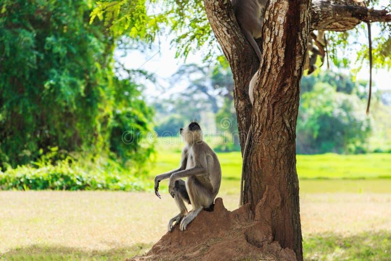 Mono gris en la selva que se sienta debajo de un árbol foto de archivo libre de regalías