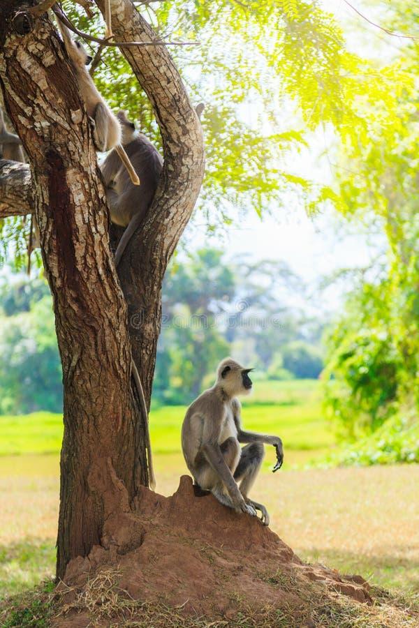 Mono gris en la selva que se sienta debajo de un árbol foto de archivo