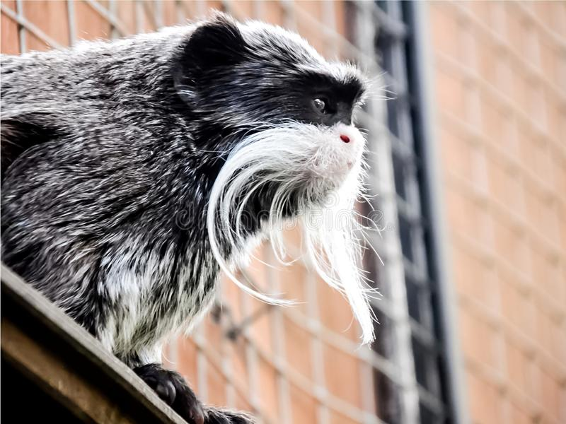 Mono gris miniatura en el parque zoológico foto de archivo libre de regalías