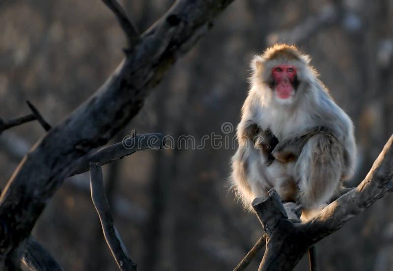 Mono japonés fotos de archivo