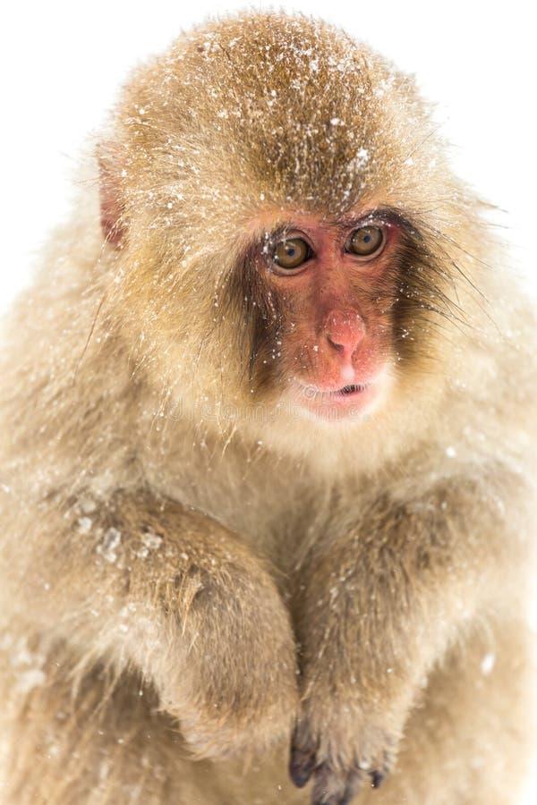 Mono japonés de la nieve imágenes de archivo libres de regalías