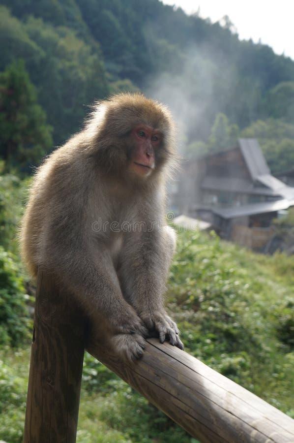 Mono japonés de la nieve del macaque en haz fotografía de archivo