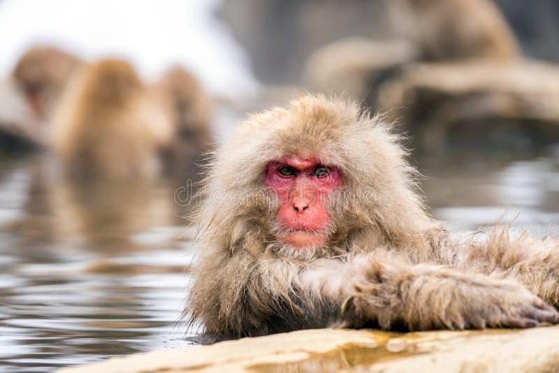 Mono japonés de la nieve imagenes de archivo